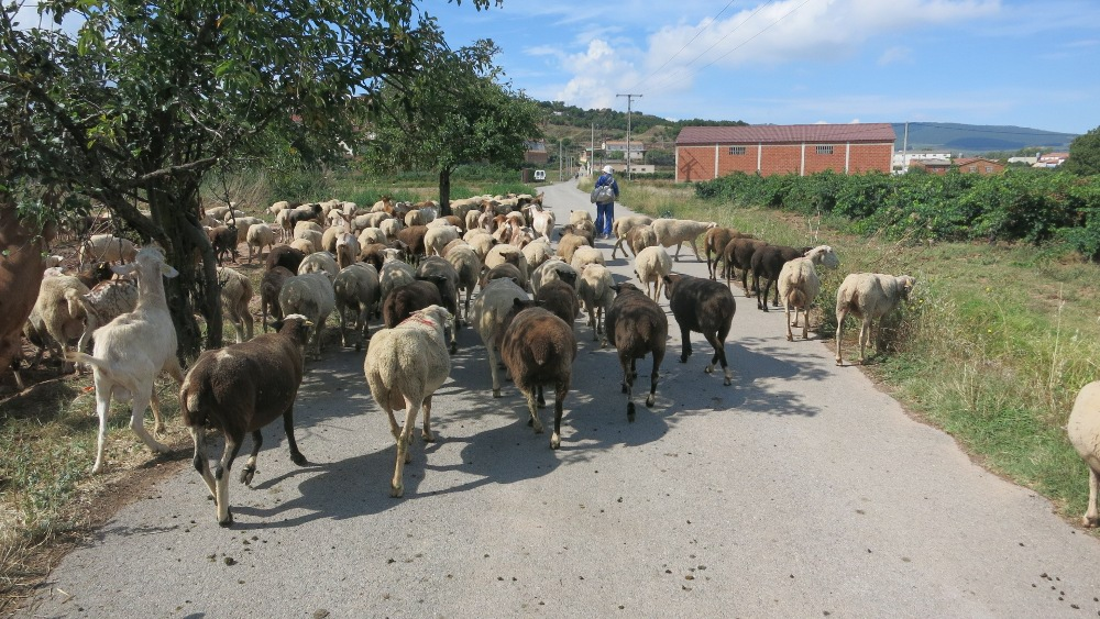 Camino - Sheep