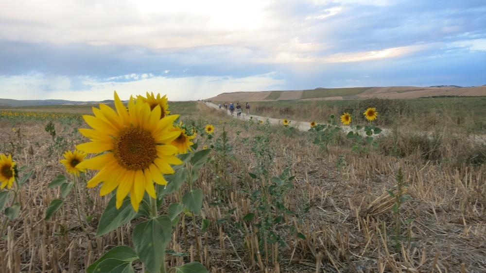Camino - Sunflowers