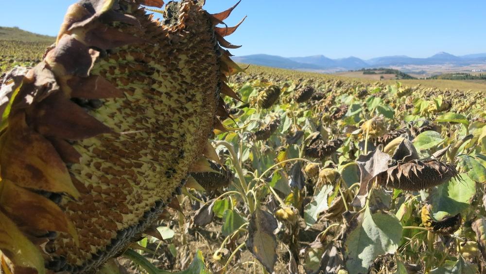 Camino - Sunflowers2