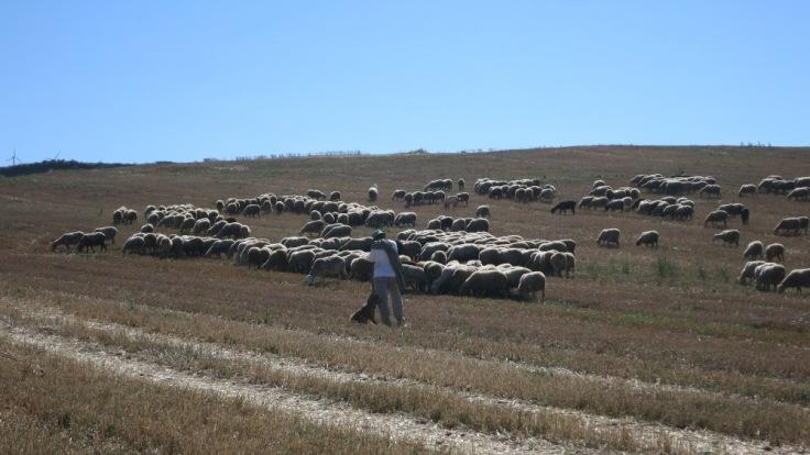 Camino - The Sheperd